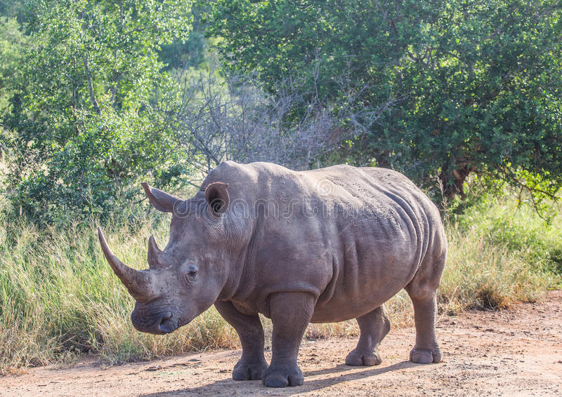 White Rhinoceros in the Savannah at Hlane Royal National Park. Swaziland royalty free stock photography