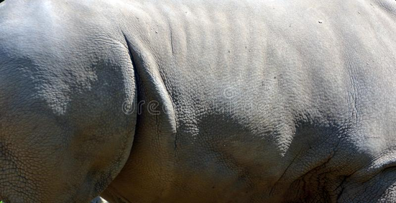 The white rhinoceros skin or square-lipped rhinoceros. The white rhinoceros or square-lipped rhinoceros is the largest extant species of rhinoceros. It has a royalty free stock image