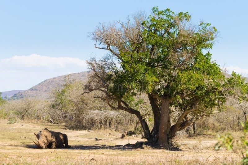 White rhinoceros sleeping under a tree, South Africa. White rhinoceros sleeping under a tree from Hluhluwe–Imfolozi Park, South Africa. African wildlife stock image