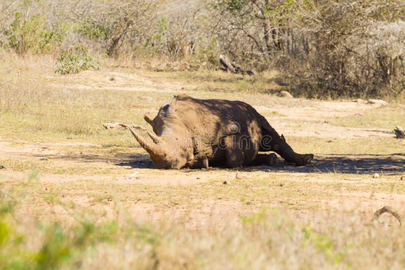 White rhinoceros sleeping under a tree, South Africa. White rhinoceros sleeping under a tree from Hluhluwe–Imfolozi Park, South Africa. African wildlife royalty free stock photography