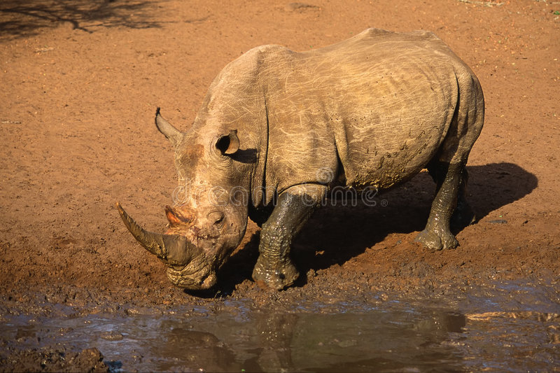 White rhinoceros, South Africa. White (square-lipped) rhinoceros (Ceratotherium simum), South Africa royalty free stock images