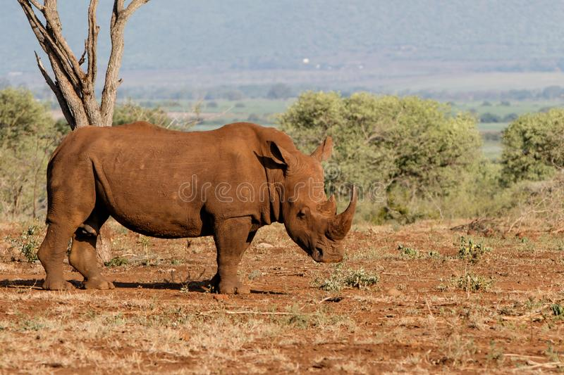 White rhinoceros in South Africa. White rhinoceros male in Zimanga Game Reserve in South Africa royalty free stock photo