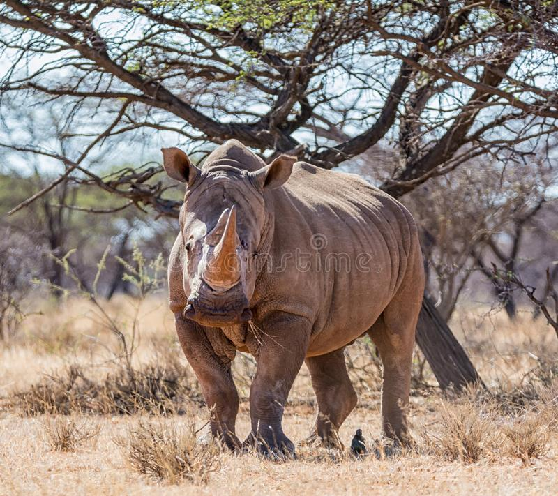 White Rhinoceros. In Southern African savanna royalty free stock photos