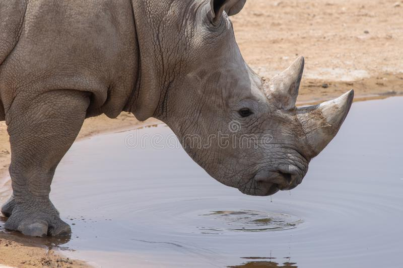 A white rhinoceros or square-lipped rhinoceros Ceratotherium simum close-up drinking at a waterhole.  royalty free stock photos