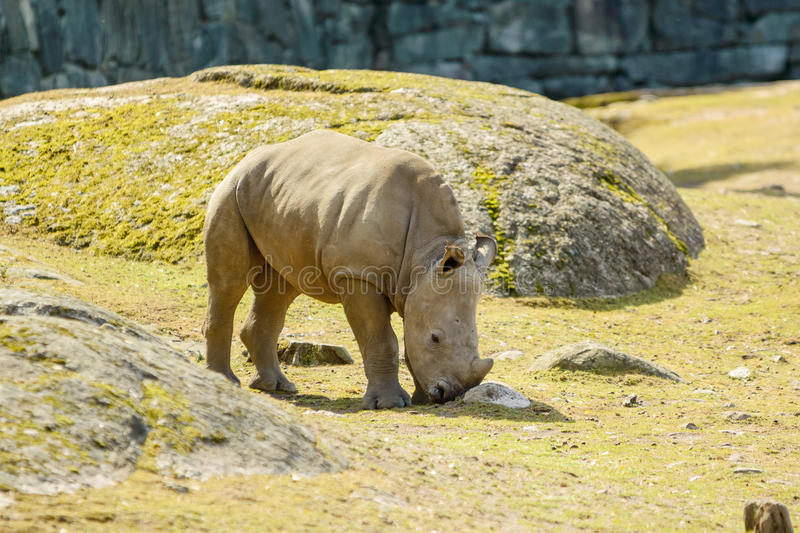 White rhinoceros. Or square-lipped rhinoceros, Ceratotherium simum. Here a calf is seen walking in enclosure royalty free stock images