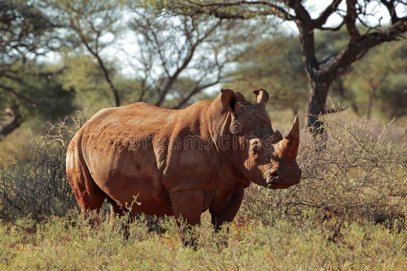Download White rhinoceros stock photo. Image of wild, ceratotherium - 30821454