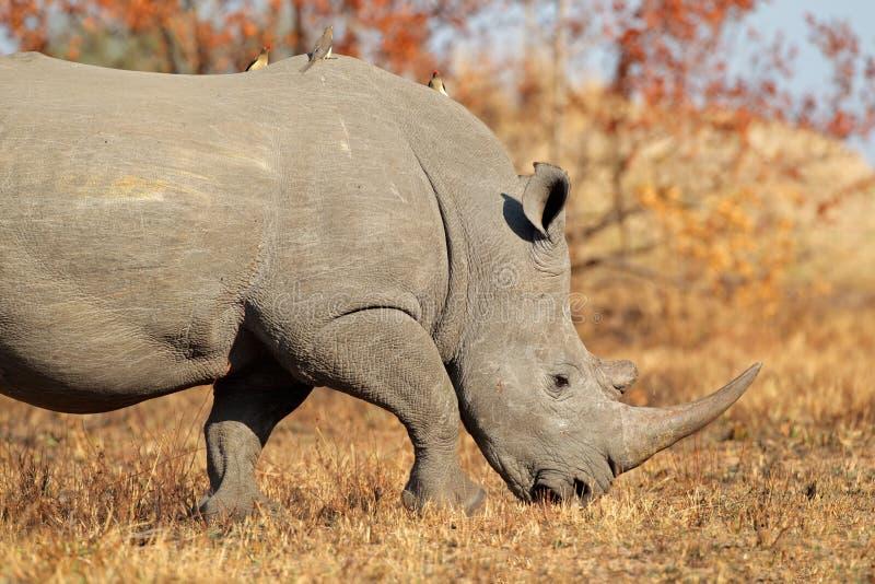 White rhinoceros. White (square-lipped) rhinoceros (Ceratotherium simum), South Africa royalty free stock photo