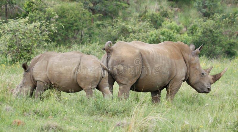 White rhinoceros or square-lipped rhinoceros, Ceratotherium simum. stock image