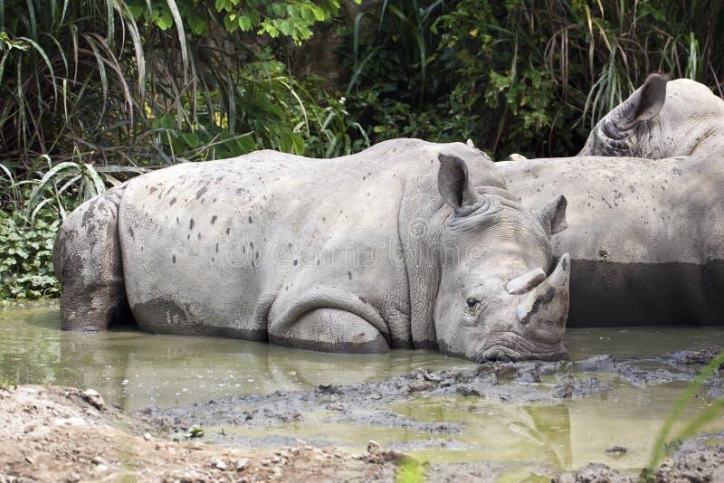 Download White Rhinoceros,Square-Lipped Rhinoceros , Ceratotherium Simum Stock Photo - Image: 28333086