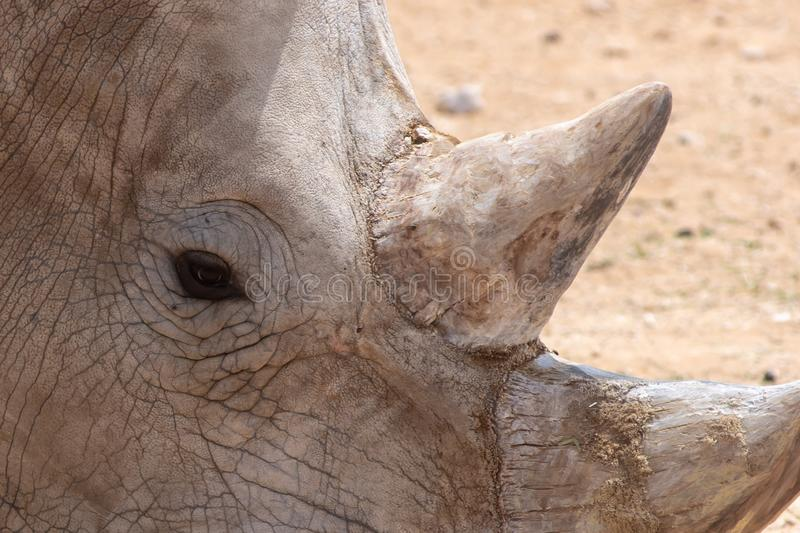 A white rhinoceros or square-lipped rhinoceros Ceratotherium simum eye and horn. Looking at the wrinkles and detail stock images