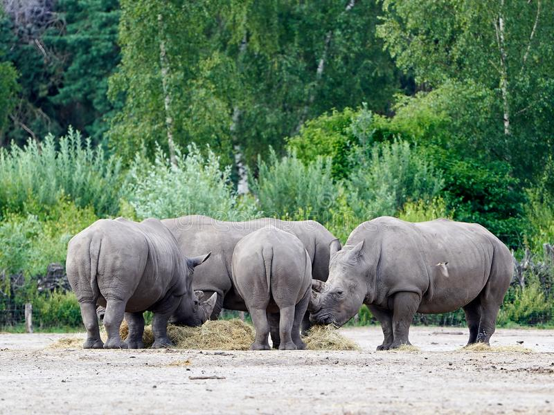 Group of Rhino`s eating, in the background lots of green trees royalty free stock images