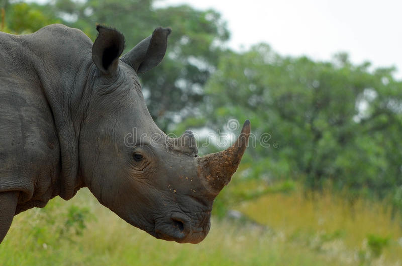 White rhinoceros or square-lipped rhinoceros (Ceratotherium simum). royalty free stock images