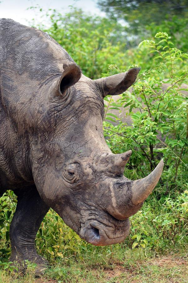 Download White Rhinoceros Or Square-lipped Rhinoceros (Ceratotherium Simum). Stock Image - Image of sideview, grass: 41362407