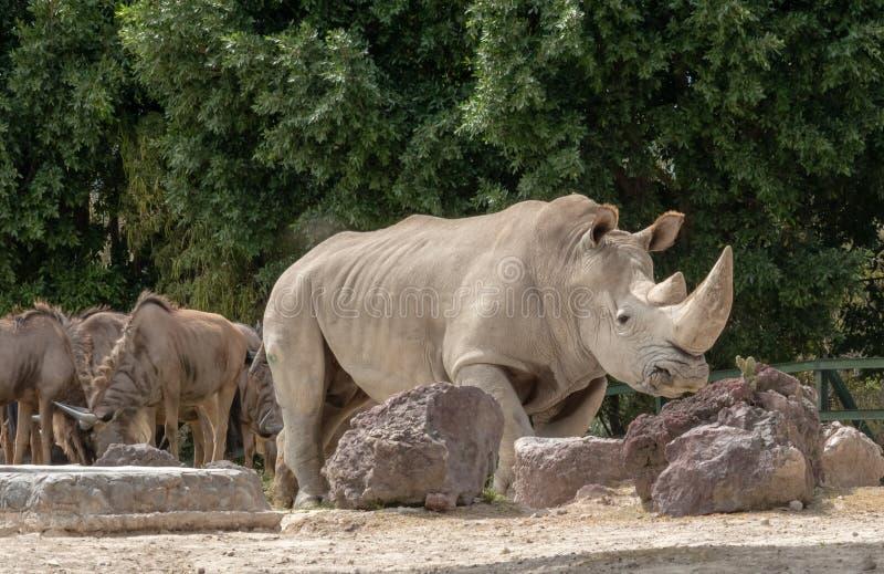 White rhinoceros. Or square-lipped rhinoceros Ceratotherium simum stock photos
