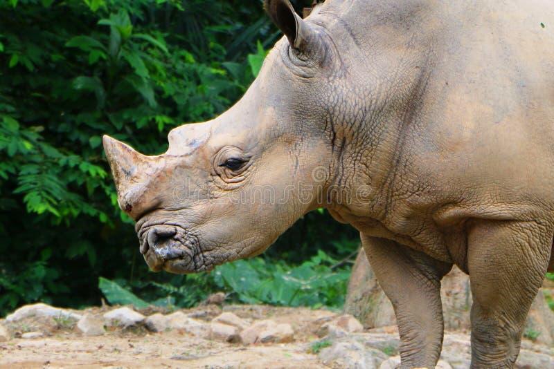 White rhinoceros or square-lipped rhinoceros Ceratotherium simum. stock images