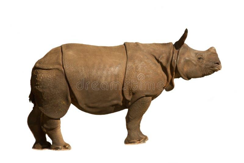 White rhinoceros, square-lipped rhinoceros Ceratotherium simum. stock images