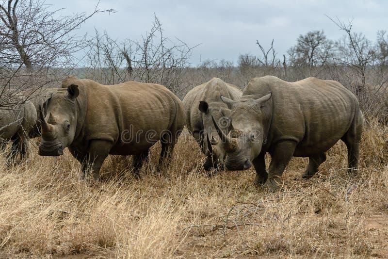 White rhinoceros or square-lipped rhinoceros in Hlane Royal National Park, Swaziland. White rhinoceros or square-lipped rhinoceros Ceratotherium simum in Hlane royalty free stock image