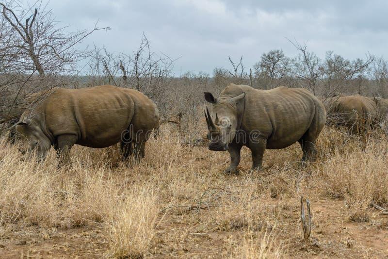 White rhinoceros or square-lipped rhinoceros in Hlane Royal National Park, Swaziland. White rhinoceros or square-lipped rhinoceros Ceratotherium simum in Hlane stock images