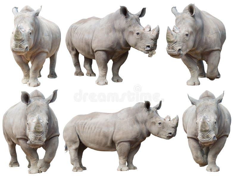 White rhinoceros, square-lipped rhinoceros isolated. On white background royalty free stock photo