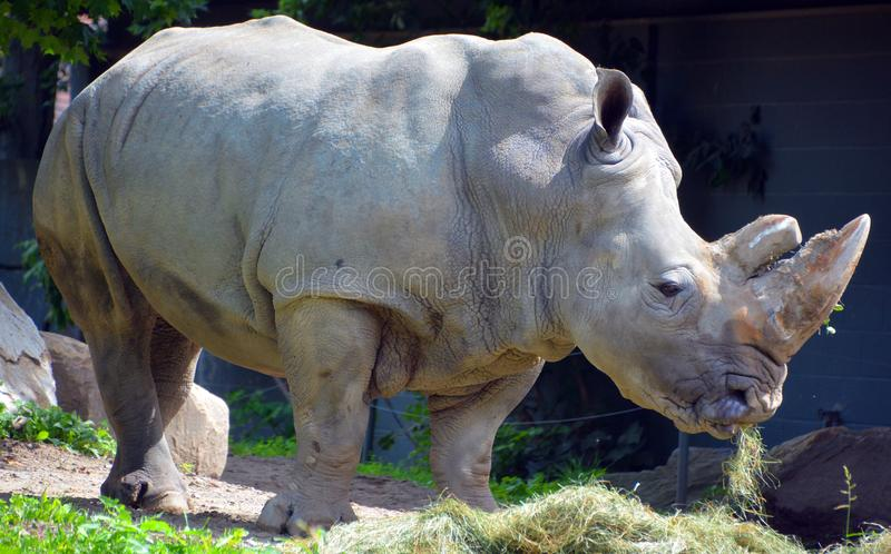 The white rhinoceros or square-lipped rhinoceros. Is the largest extant species of rhinoceros. It has a wide mouth used for grazing and is the most social of stock images