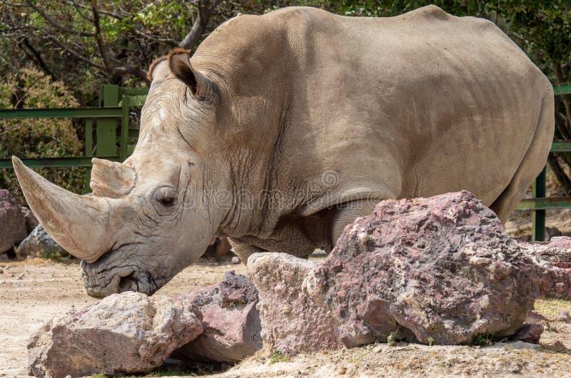 White rhinoceros or square-lipped rhinoceros. Ceratotherium simum royalty free stock photography
