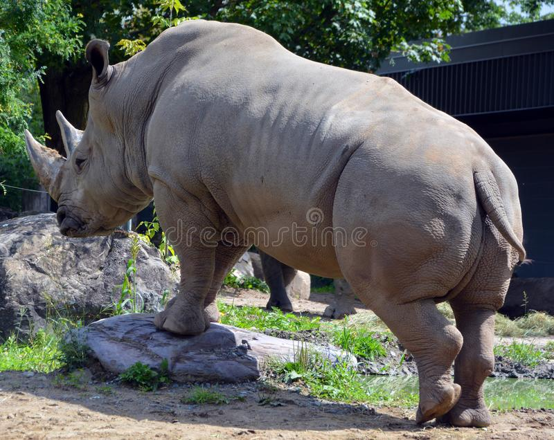 The white rhinoceros or square-lipped rhinoceros. Is the largest extant species of rhinoceros. It has a wide mouth used for grazing and is the most social of stock image