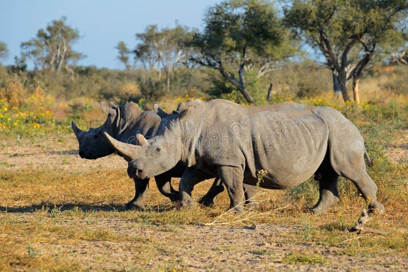 White rhinoceros. Two white (square-lipped) rhinoceros (Ceratotherium simum) in natural habitat, South Africa stock photography
