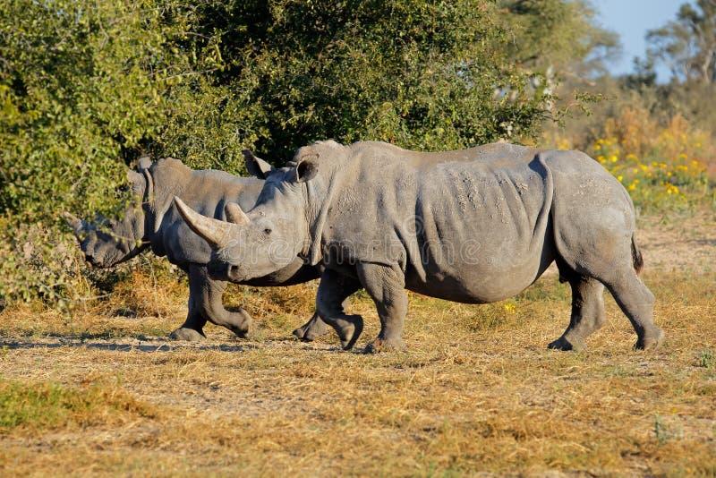 White rhinoceros. Two white (square-lipped) rhinoceros (Ceratotherium simum) in natural habitat, South Africa stock images