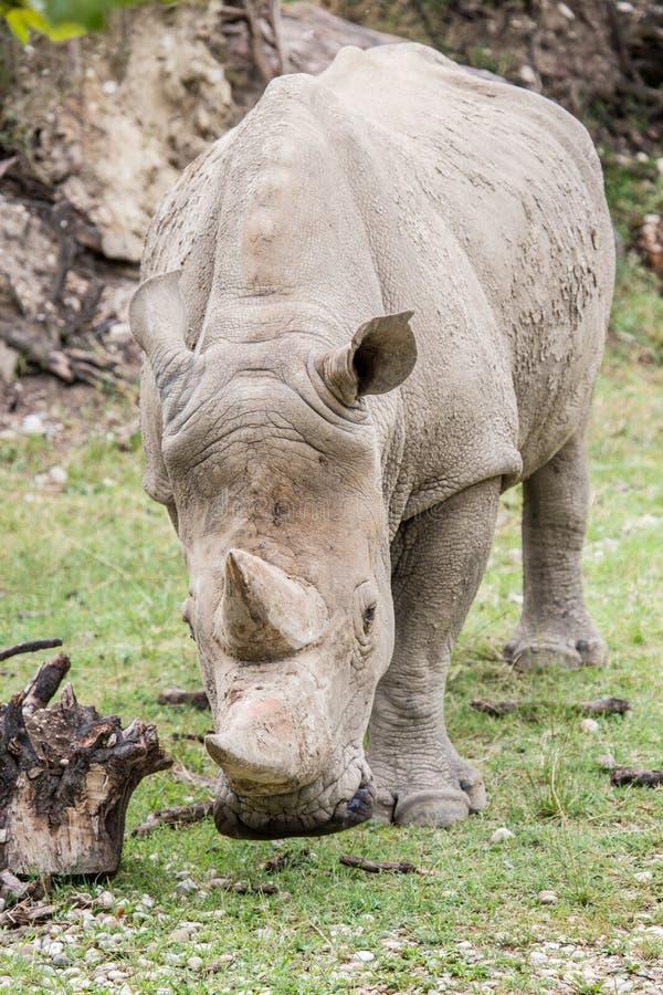 White rhinoceros walking. Frontal view of a white rhinoceros or square-lipped rhinoceros, Ceratotherium simum, walking towards the camera stock photo