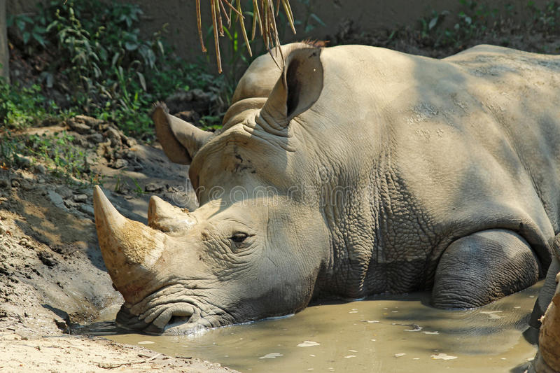 White rhinoceros in a wallow at the Indianapolis Zoo. A white or square-lipped rhinoceros (Ceratotherium simum) cools off in the water of a wallow at the royalty free stock photos