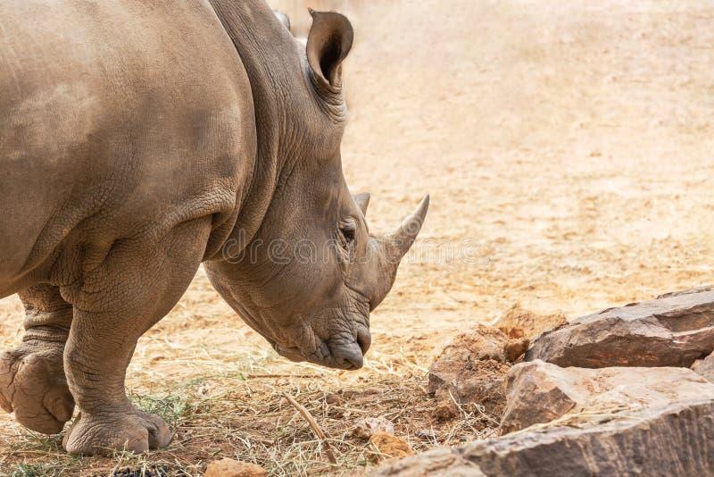 White rhinoceros or White Rhino Ceratotherium simum big animal mammal stock images