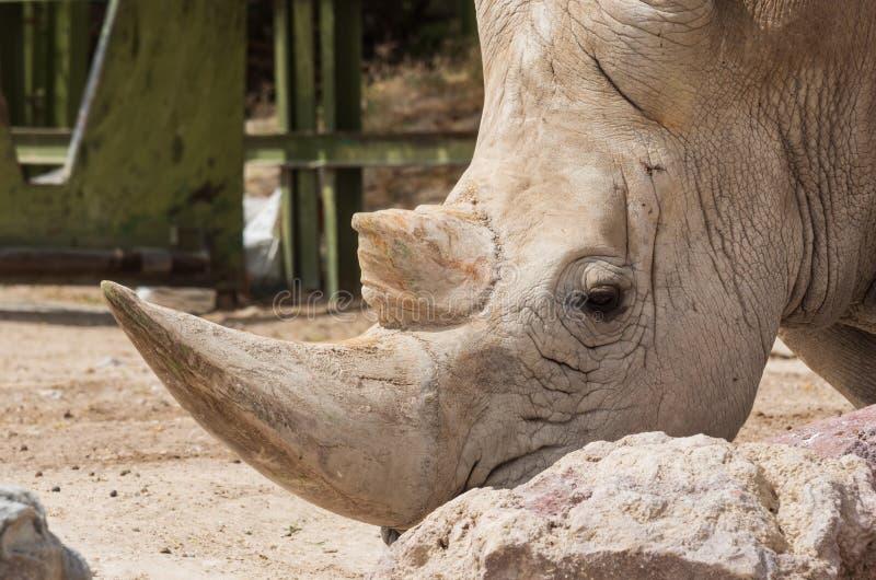 White rhinoceros. Or square-lipped rhinoceros Ceratotherium simum royalty free stock images