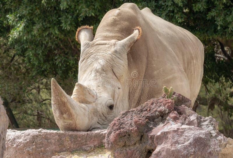White rhinoceros. Or square-lipped rhinoceros Ceratotherium simum royalty free stock image