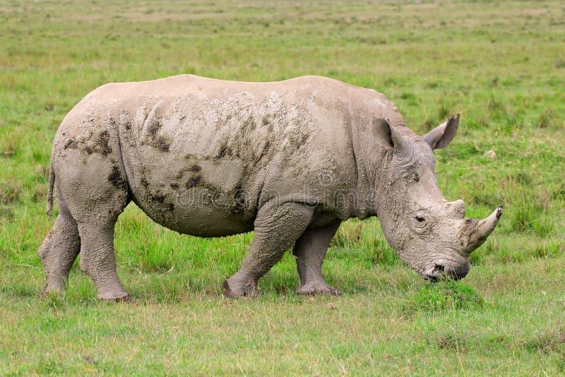 White rhinoceros. Young white rhinoceros (Ceratotherium simum), Lake Nakuru National Park, Kenya royalty free stock photo