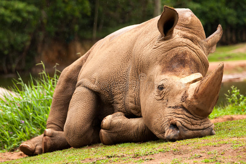 White Rhinoceros. In a zoo royalty free stock images