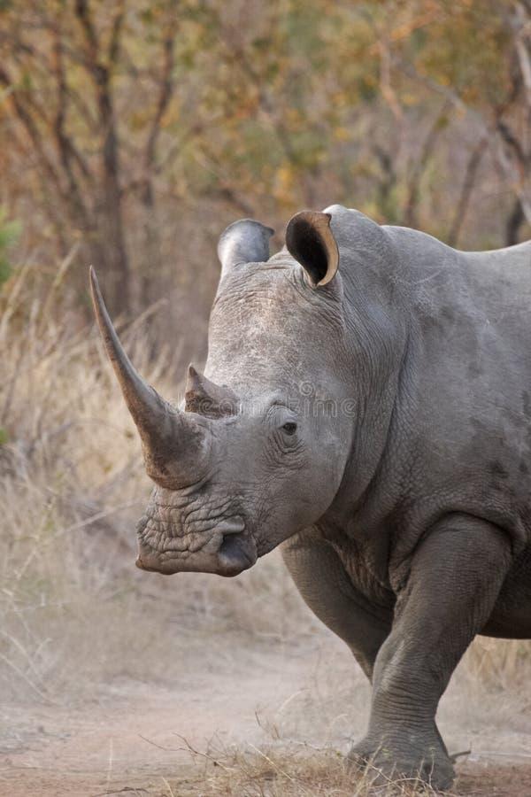 white rhinocerous zdjęcia stock