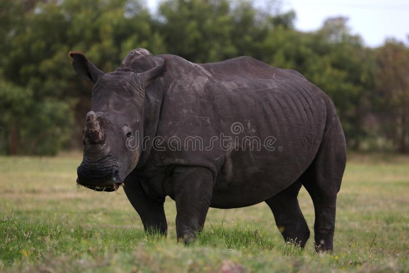Download White Rhinocerous stock image. Image of horned, fauna - 34839613