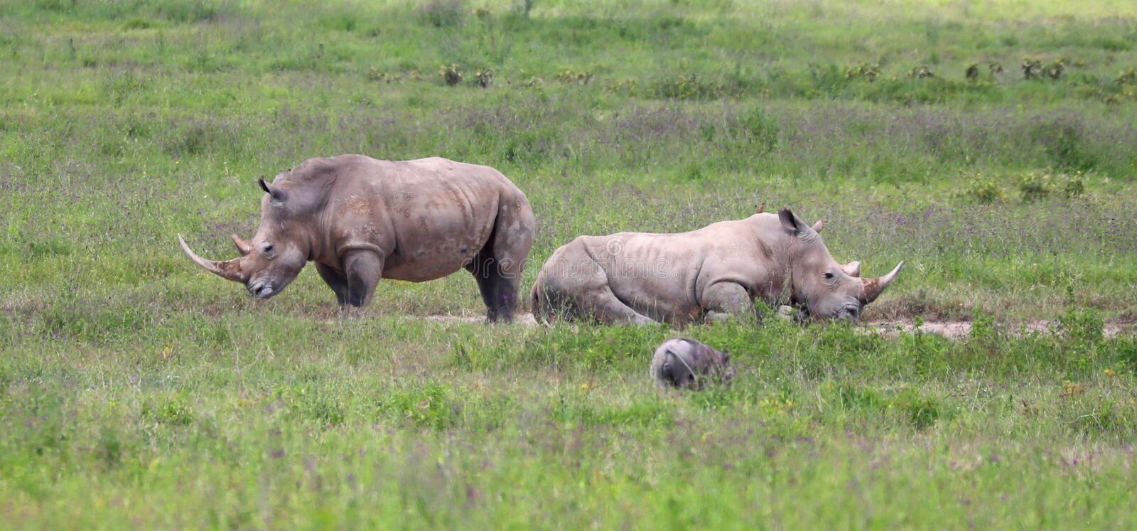 White rhinos in kenya game park stock photos