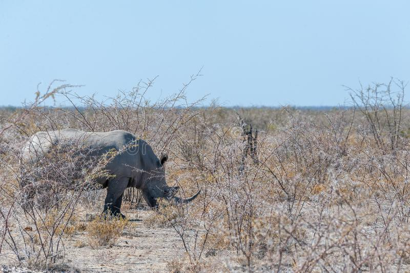 White Rhinos Grazing on the plains of Etosha National Park. One out of a group of four white Rhinoceros -Ceratotherium simum- standing on a barren plain in royalty free stock photo
