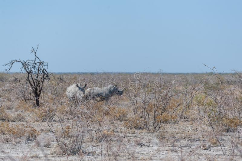 White Rhinos Grazing on the plains of Etosha National Park. Two out of a group of four white Rhinoceros -Ceratotherium simum- standing on a barren plain in royalty free stock photo