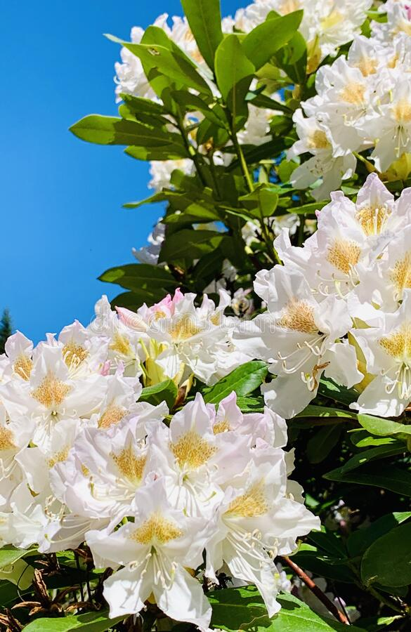 White Rhododendron flowers in springtime. Rhododendron wardii. stock photography