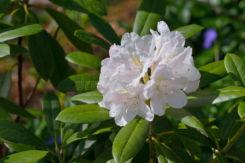 Download White Rhododendron stock image. Image of bush, floral - 31170911