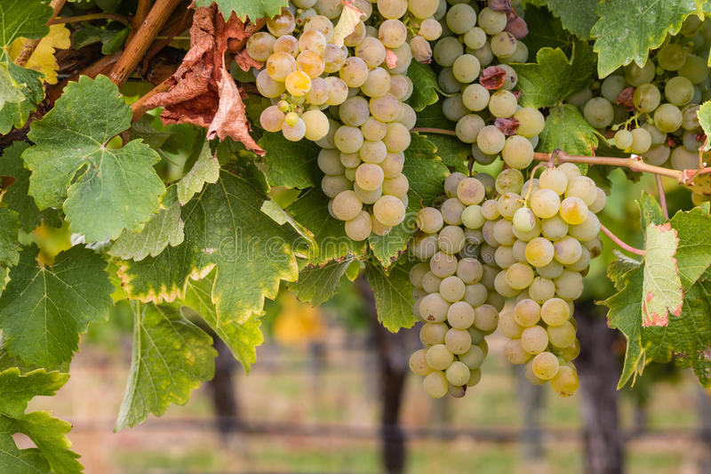 White riesling grapes on vine royalty free stock photography