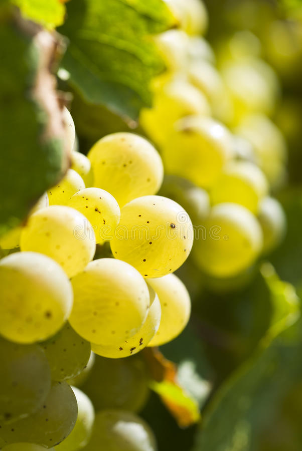 Download White Riesling Wine Grapes In The Vineyard Stock Photo - Image: 16110604