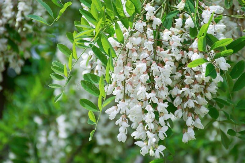White Robinia pseudoacacia tree, False acacia, Black locust plant stock images