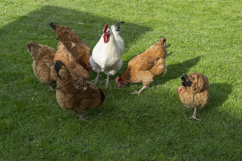 White rooster and hens. White rooster nad hens on the grass stock photography