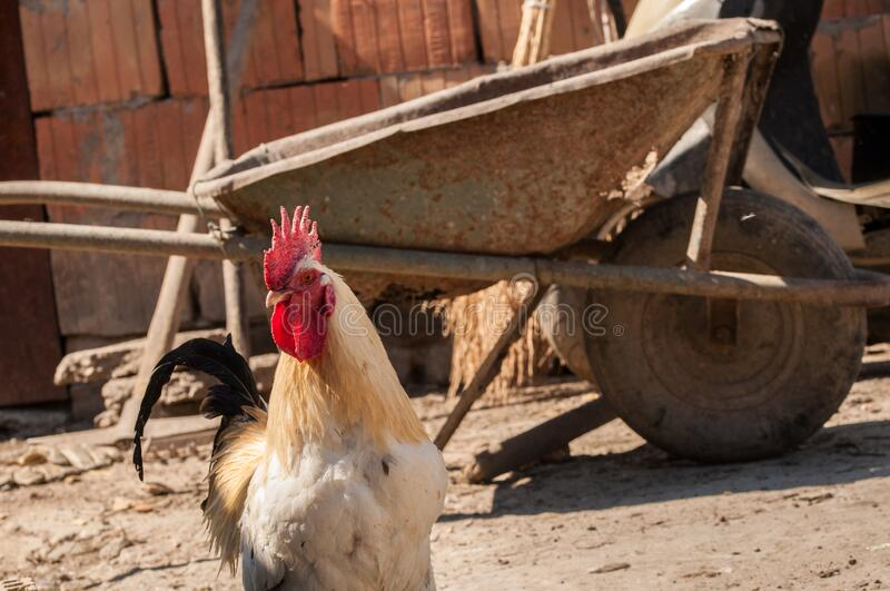 White rooster with red crest in the yard.Close up royalty free stock photography