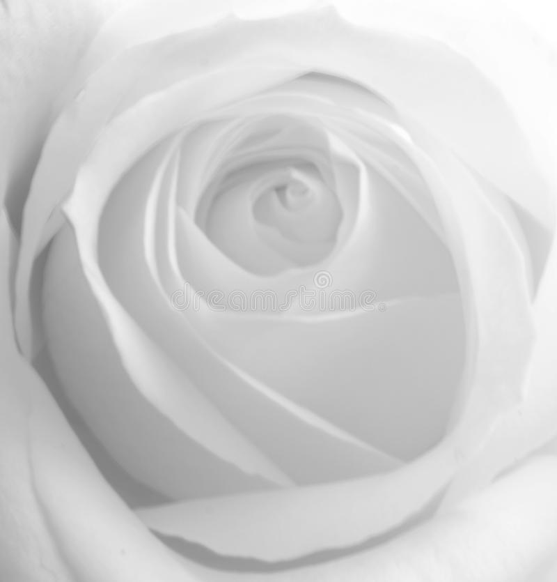 Download White rose stock image. Image of lotus, lily, macro, picture - 10327571