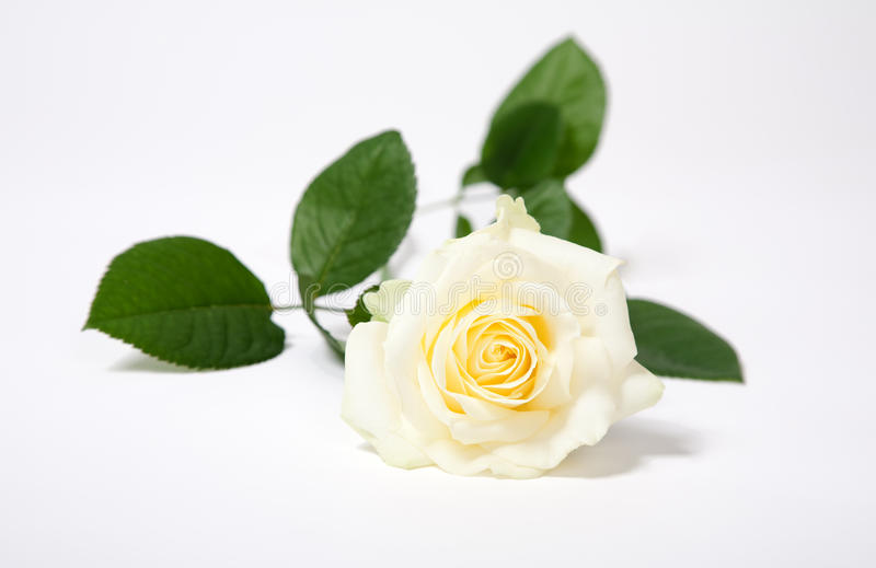 Download White rose stock image. Image of beauty, head, elegant - 10781097