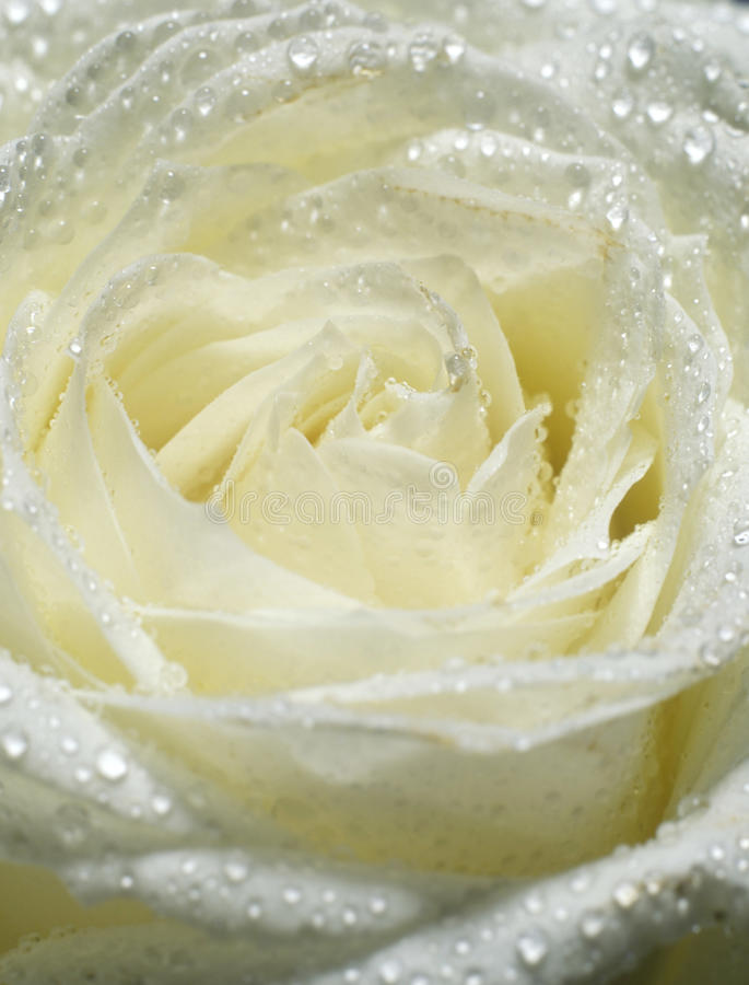 Download White rose stock photo. Image of droplet, flowers, ilustrations - 11451746